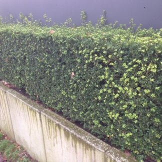 Japanse hulst / ilex crenata green hedge
