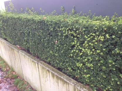 Japanse hulst / ilex crenata green hedge